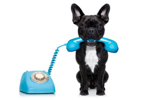bouledogue français chien sur le téléphone